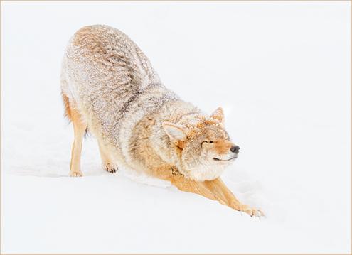 downwardcoyote2018W