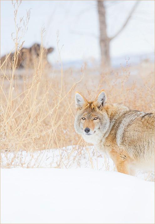 coyoteandcow2019W